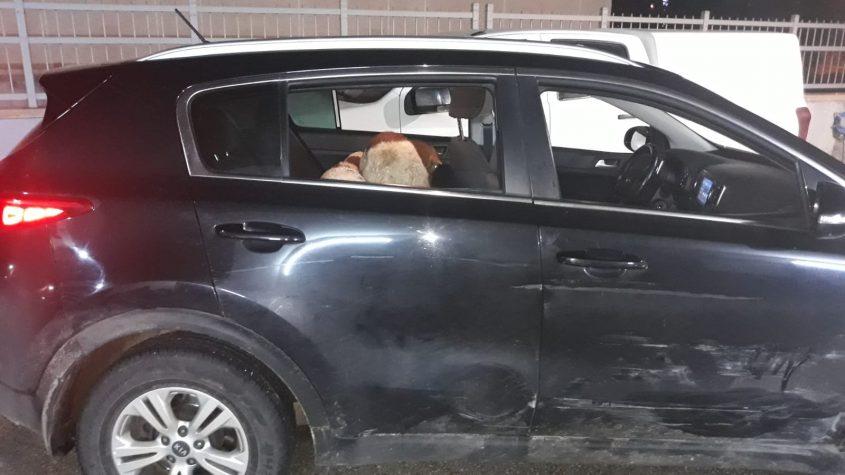הרכב בו נמצאו הטלאים. צילום: דוברות המשטרה