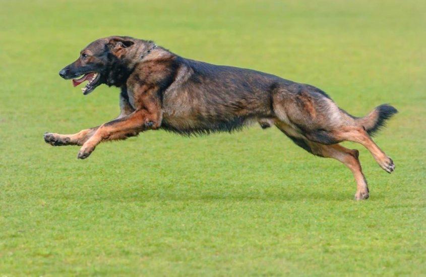 ספיד הכלב של דהן בריצת אמוק
