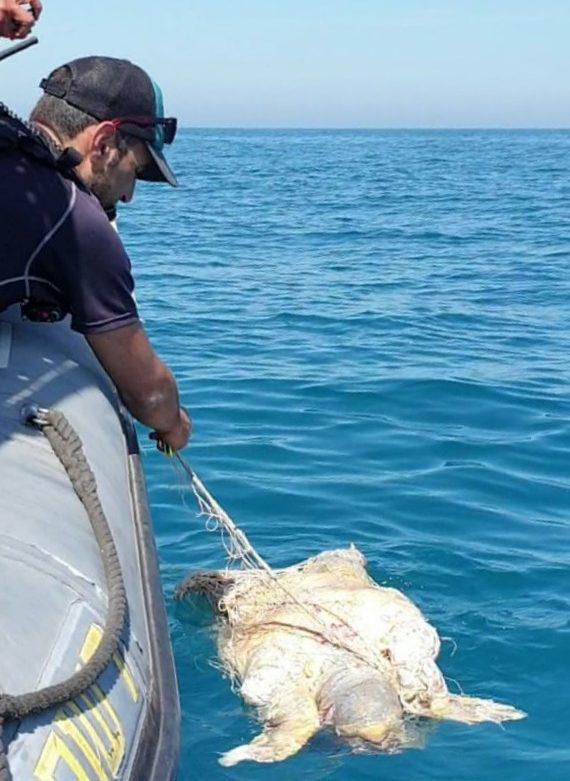 הפקחים משחררים את צב הים החום למים לאחר שכבר מת. צילום: דוברות רשות הטבע והגנים