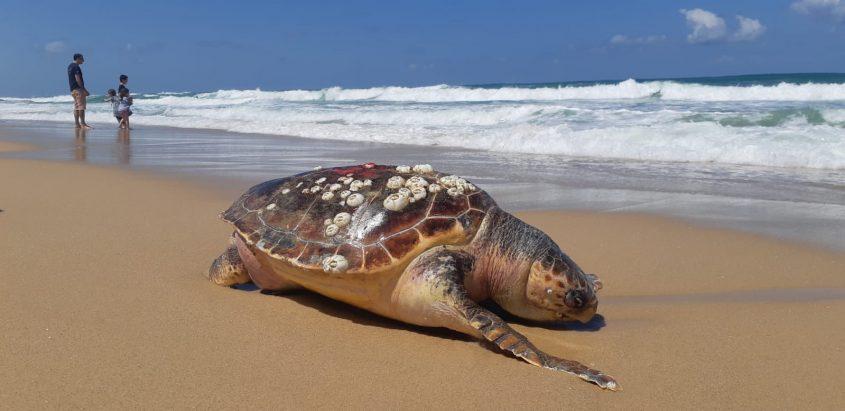 צב ים מת בחוף ניצנים. צילום: אלירם משה