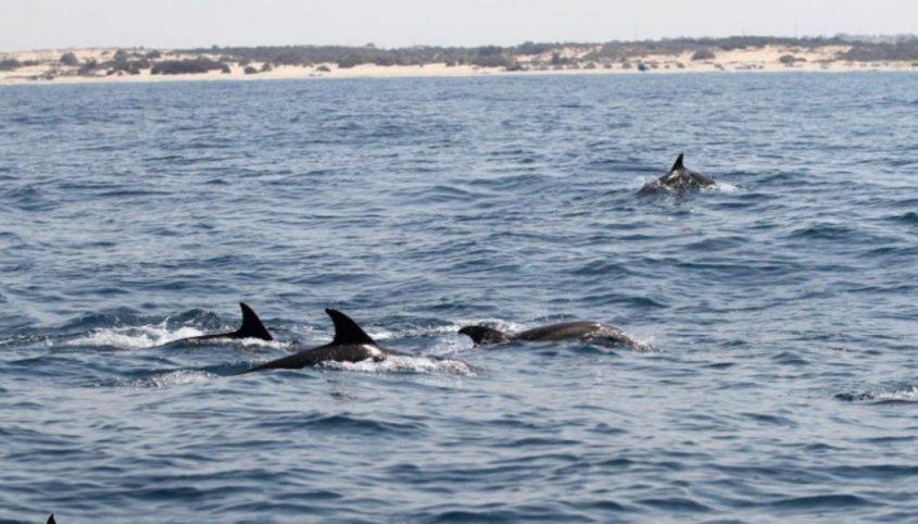 להקת דולפין מצוי בשמורת אבטח. צילום דר אביעד שיינין, מחמלי ואוניברסיטת חיפה
