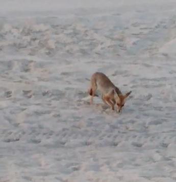 השועל מרחרח במיקום שבו הוטלו הביצים. צילום: רונית נשיא, רשות הטבע והגנים