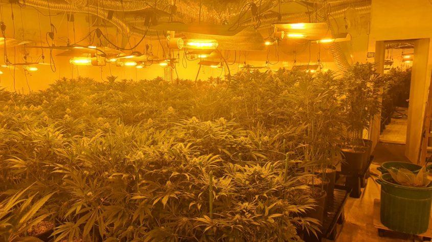 יותר מ-1200 שתילי מריחואנה. מעבדת הסמים הענקית שנתפסה בראשון לציון. צילום: דוברות המשטרה