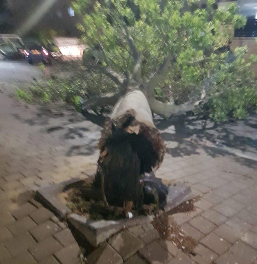 עץ קרס ברחוב לכיש באשקלון. צילום: אדגר רימר