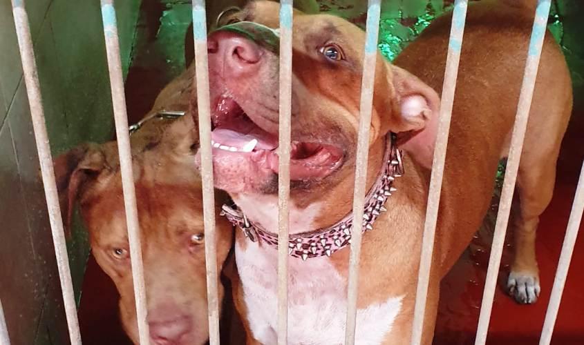 """כלבי הפיטבול שנשלחו לעבר רפ""""ק חכמון"""