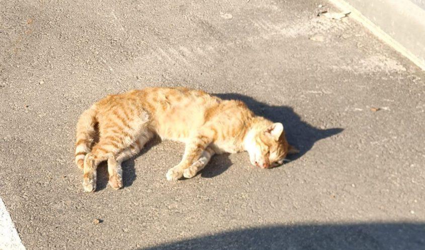החתול הגינגי שנעלם לפני ארבעה ימים ונמצא בצד הכביש בין אשקלון לבאר גנים. צילום: דורין פרי