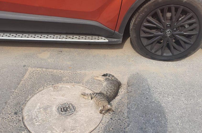 חתול מת
