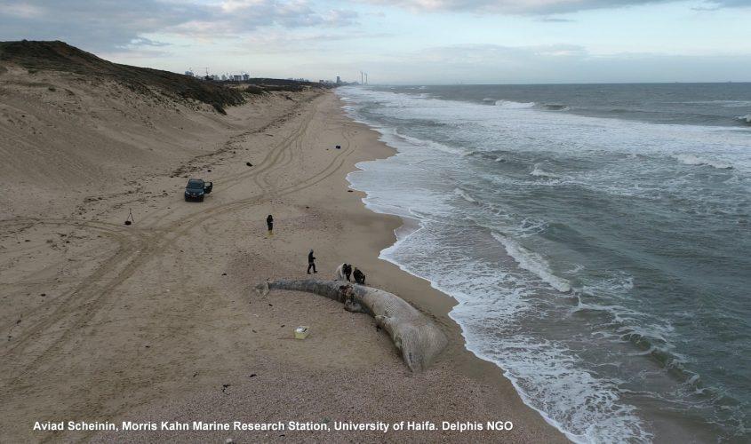 "הלוויתן שנסחף אל החוף. צילום: ד""ר אביעד שיינין"