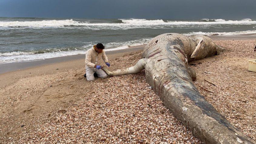 הלוויתן בחוף ניצנים. צילום: שלומית שביט, רשות הטבע והגנים